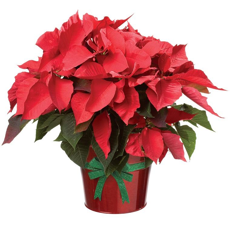 piante-da-interno-con-fiori-stella-natale