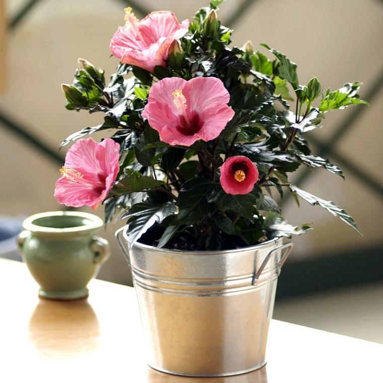 piante-da-interno-fiori-ibisco-rosa