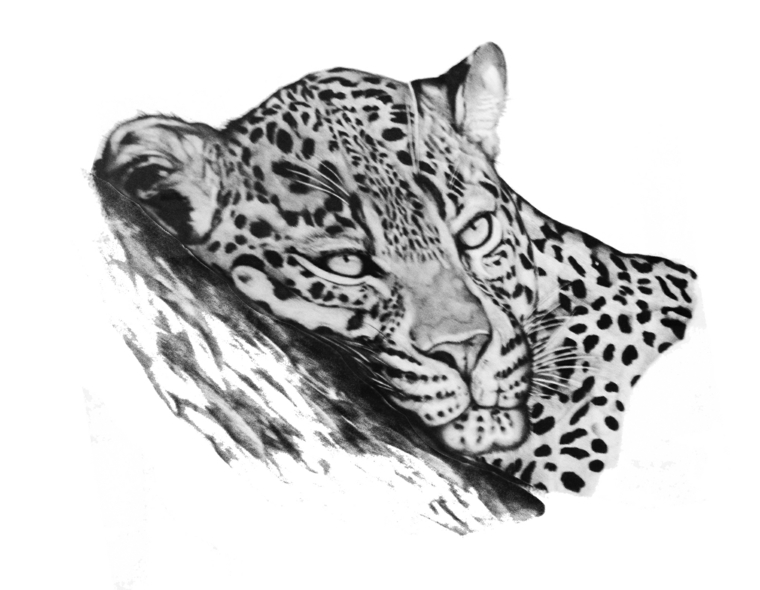disegni-a-matita-primo-piano-testa-leopardo-atteggiamento-tranquillo-rilassato-orecchie-tese-dettagli-curati