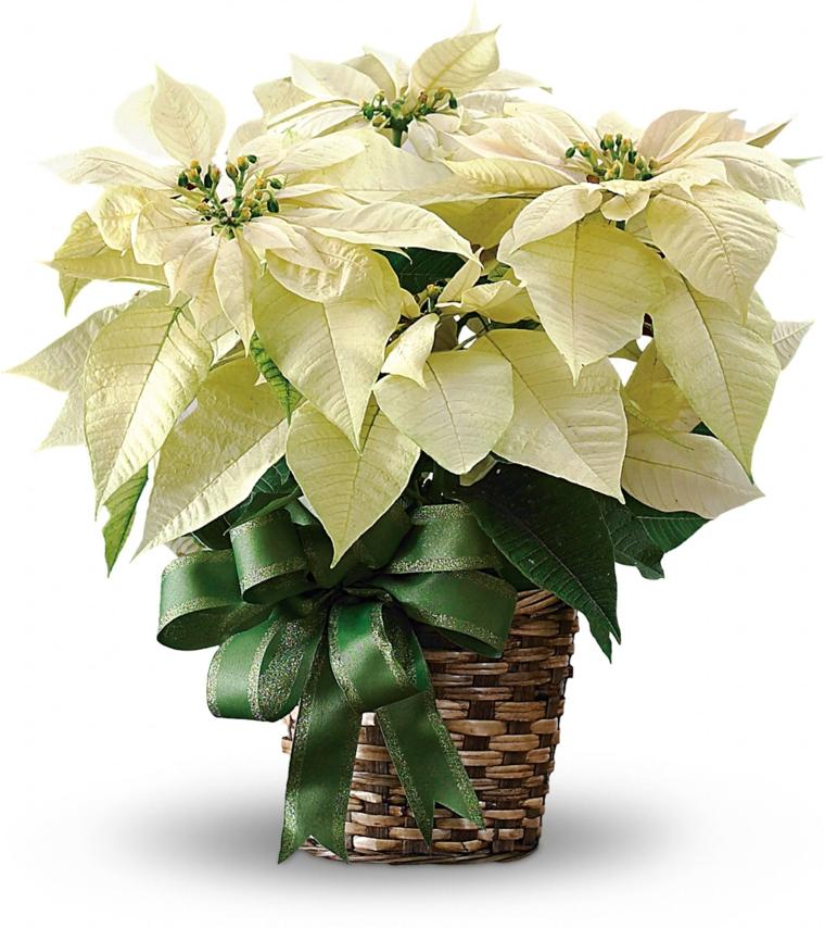 idee-regali-natale-splendida-stella-natale-color-panna-vaso-vimini-intrecciato-fiocco-verde