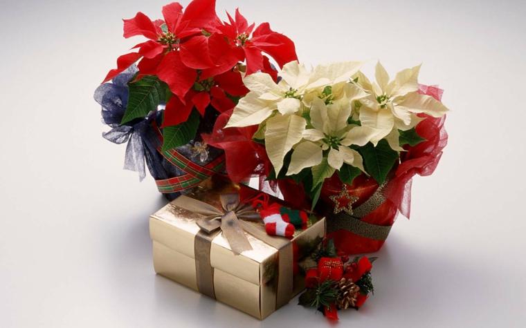 idee-regalo-natale-opzione-amanti-piante-stelle-natale-diverso colore-bianco-rosso-pigne-decorazione