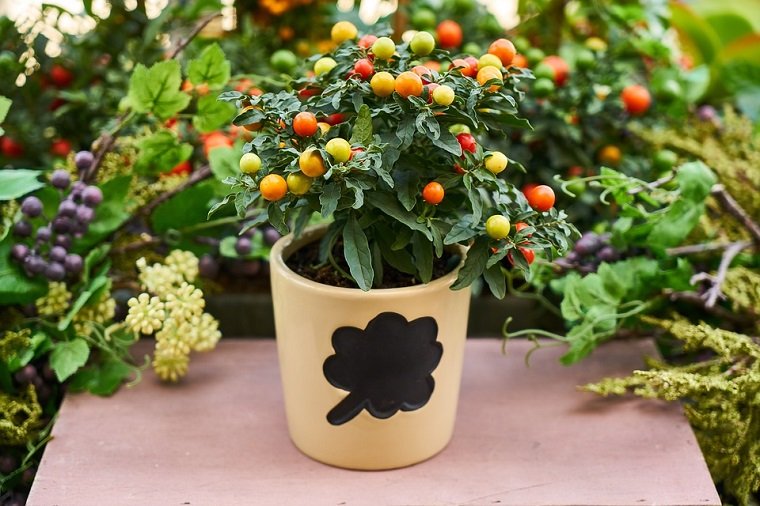 Orto in casa, coltivare pomodoro in vaso sul terrazzo, vaso di colore beige decorato con una foglia