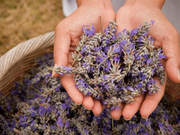 Cura con essenze vegetali, mani donna, tanti fiori di lavanda raccolti in un cesto di vimini