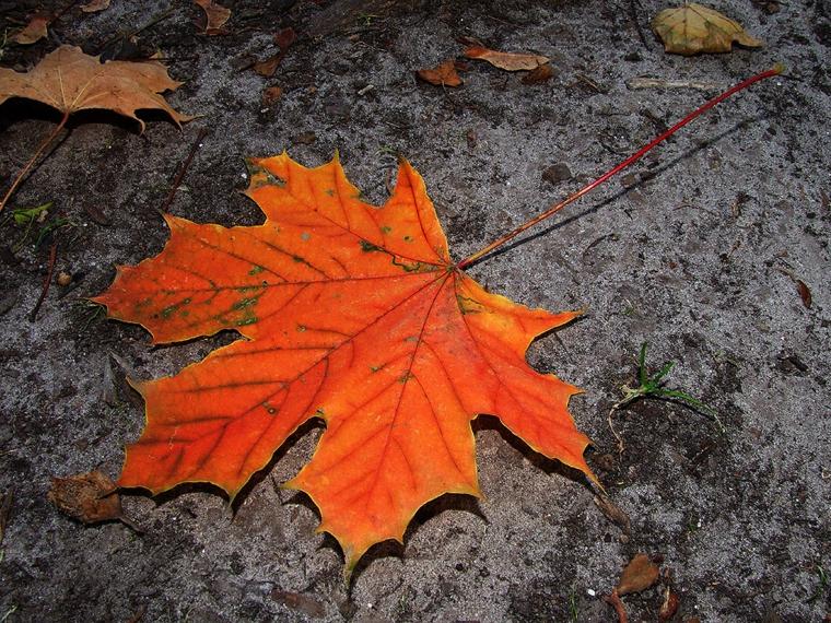 Immagini autunnali bellissime e una foglia secca caduta di colore arancione
