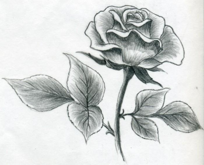 Disegnare con la matita, disegno di una rosa, stelo con foglie di una rosa