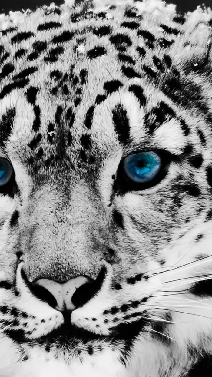 Tigre di colore bianco, la faccia di un animale, foto per cellulari
