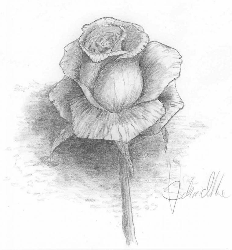 Schizzo a matita, disegno di una rosa, sfumature sui petali