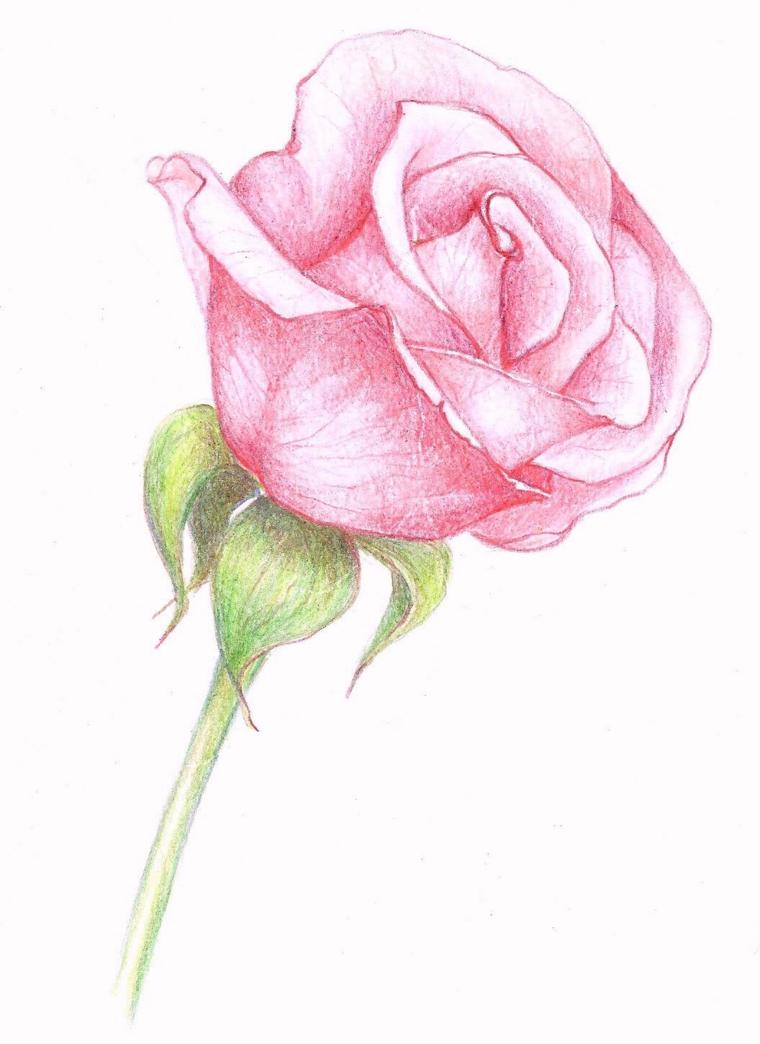 Come disegnare una rosa, petali di colore rosa, stelo e foglie verdi, disegno a matita