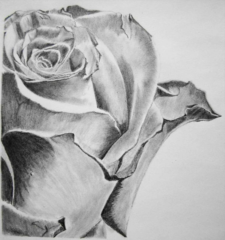 Rose disegnate, disegno a matita, sfumature con chiaro scuro