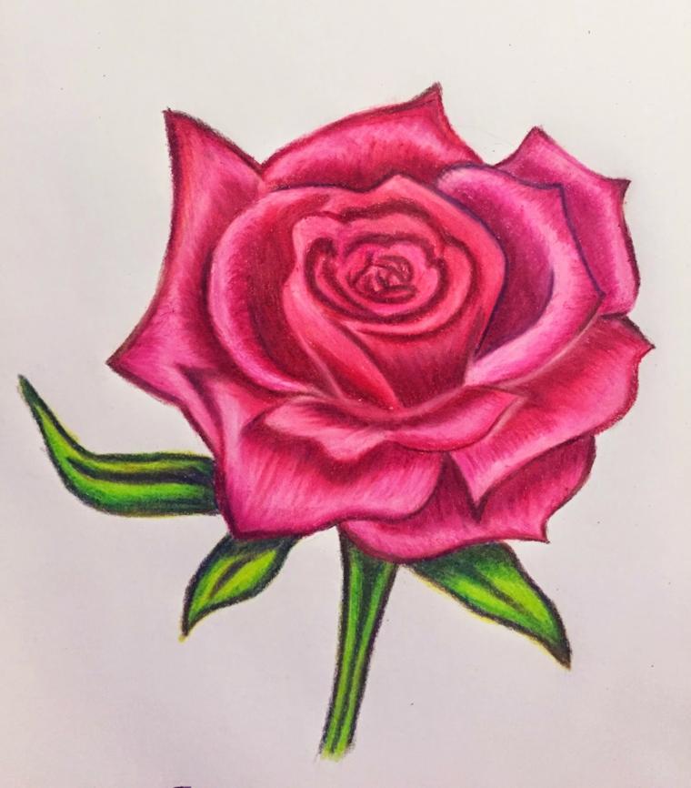 Schizzo colorato con matite, disegno di una rosa, fiori facili da disegnare