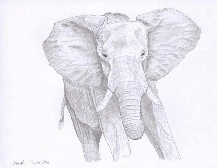 Disegno di un elefante, schizzo con chiaro scuro