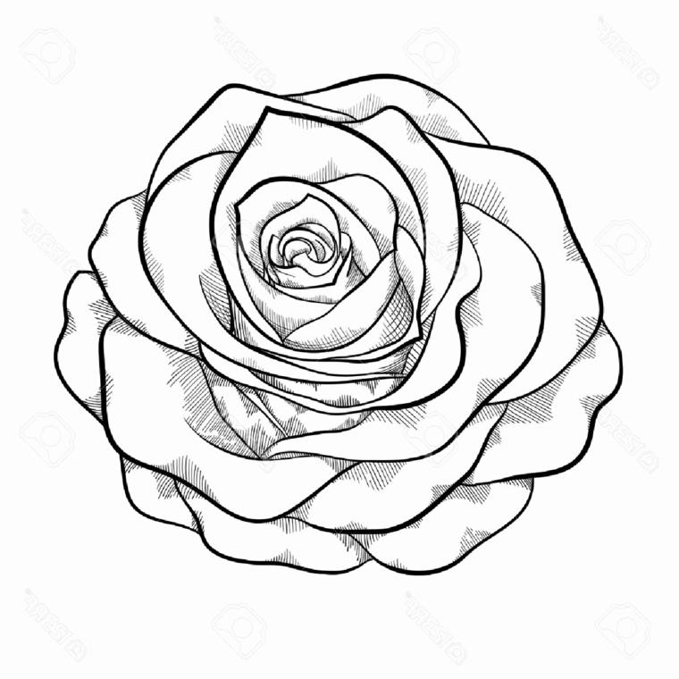 Rosa vista dall'altro, disegno su foglio bianco, sfumature con matita