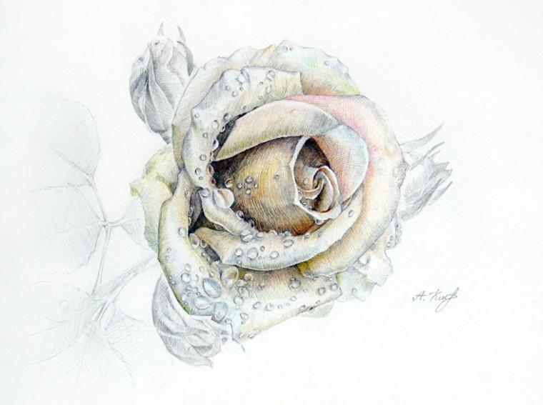 Schizzo di una rosa, gocce d'acqua sui petali