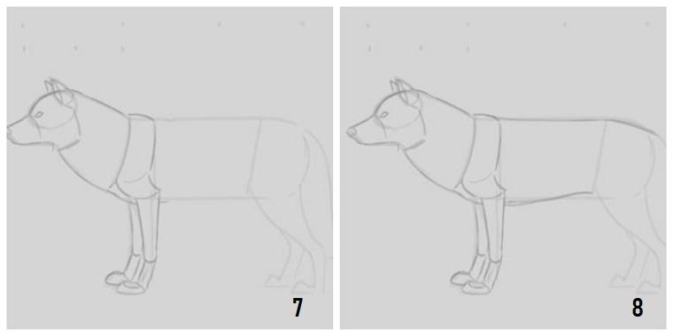 Impara a disegnare, come disegnare un lupo