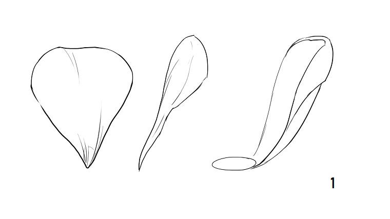 Come disegnare fiori realistici, disegni di petali di fiori, schizzo di una rosa