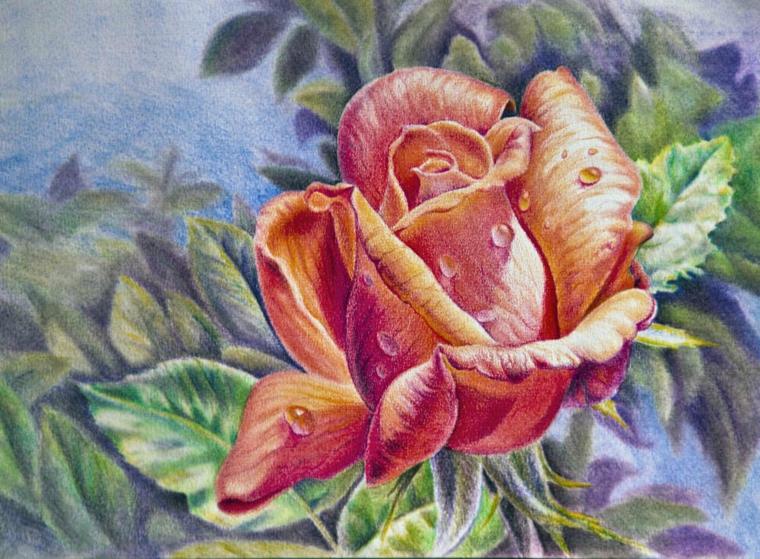 Disegni di fiori a matita, rosa con petali colorati, gocce d'acqua sui petali