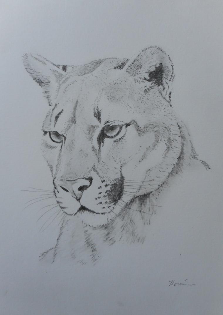 Disegno di una puma, schizzo a matita, chiaro scuro con matita