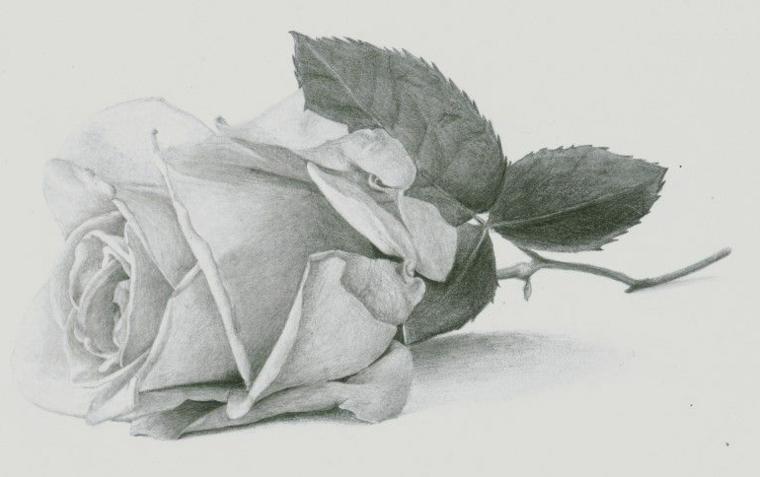 Schizzo di una rosa, rosa per terra, petali di colore chiaro