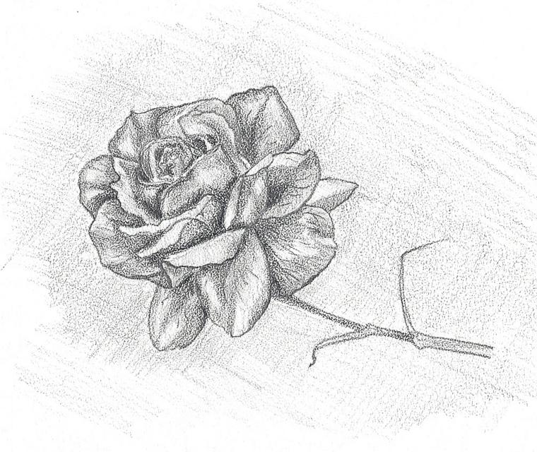 Disegno su foglio ruvido, schizzo di una rosa