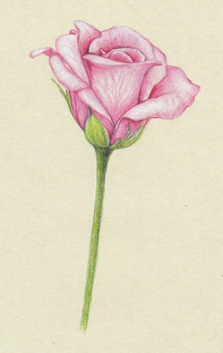 Foglio bianco ruvido, disegno di una rosa, petali di colore rosa, disegni tumblr facili