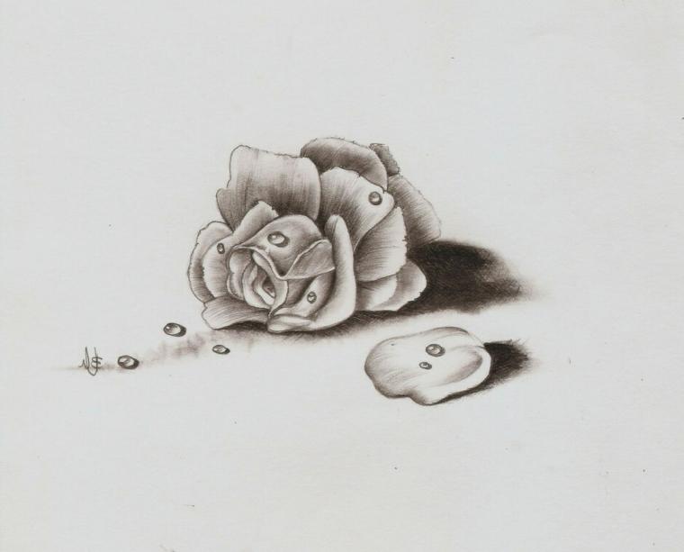 Disegnare con matita, rosa con gocce d'acqua, schizzo di un fiore