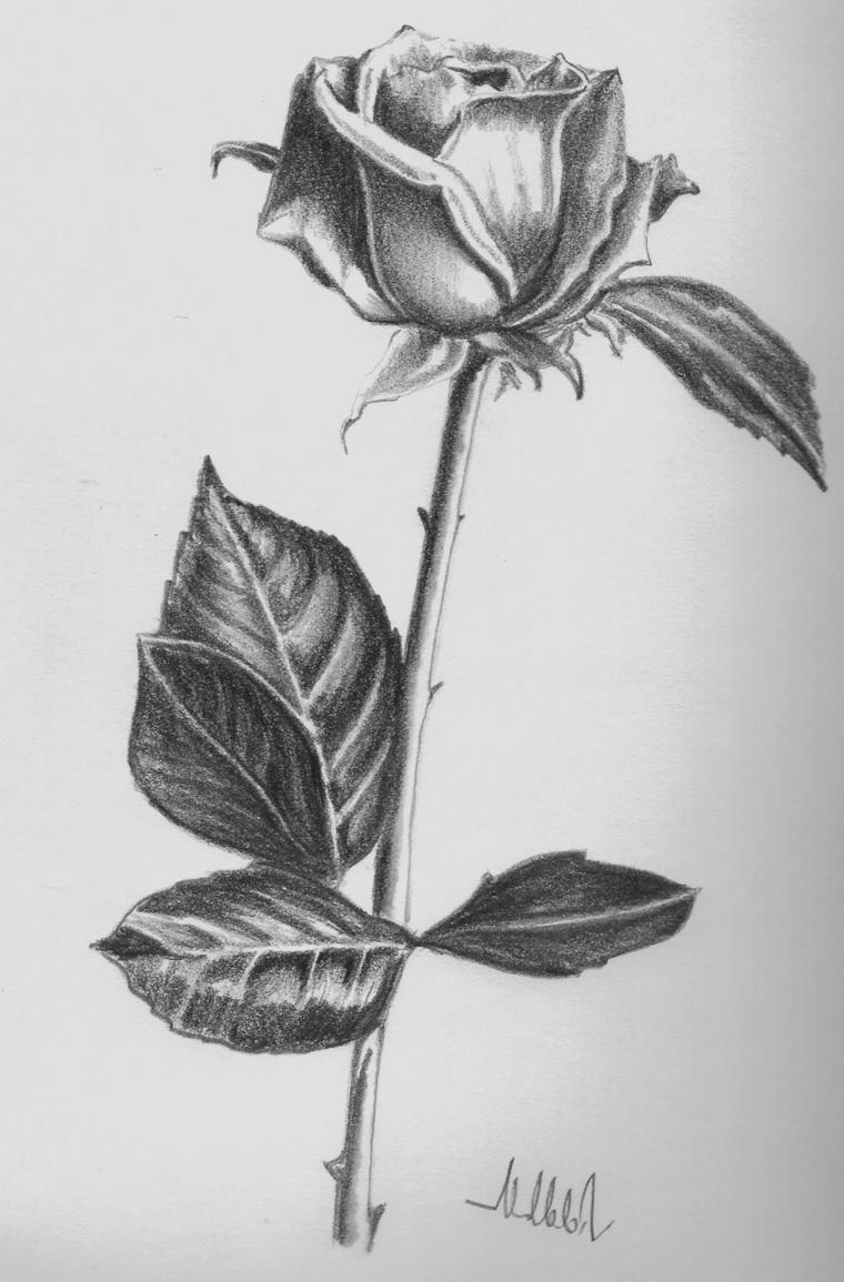 Disegno di una rosa, stelo con spine, sfumature sui petali