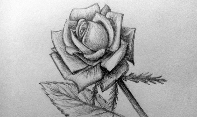 Rosa di colore nero, sfumature sulle foglie, abbozzo a matita