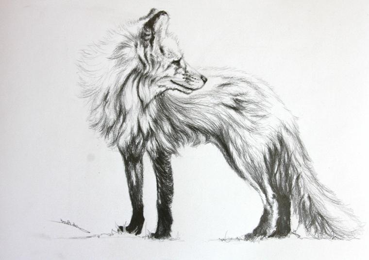 Immagini da ricopiare, disegno di un animale, volpe con pelo lungo