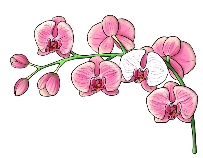 Dipinto con matite colorate, disegno di un'orchidea, fiore con foglie rosa