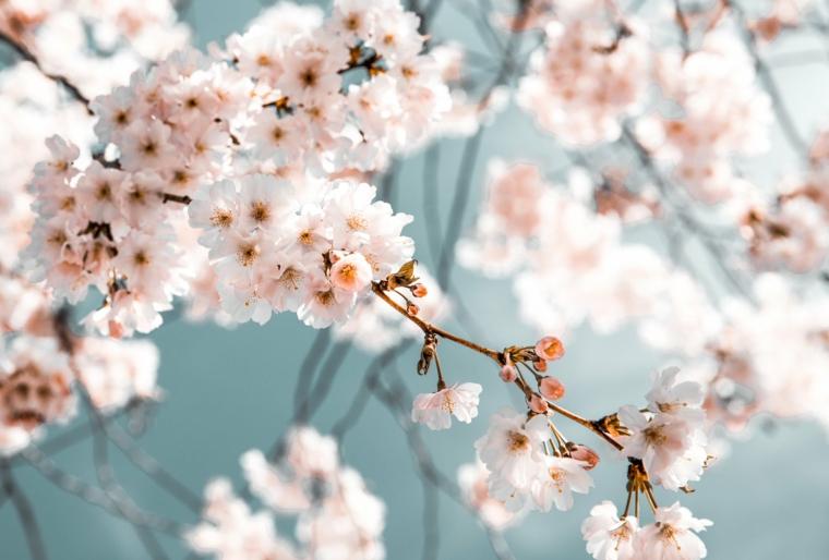 Immagini paesaggi primaverili, foto di un albero fiorito, immagine per il desktop del computer