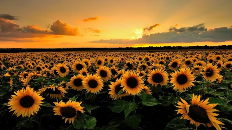 Paesaggio di un campo di girasole, foto di un tramonto, foto per lo schermo del computer