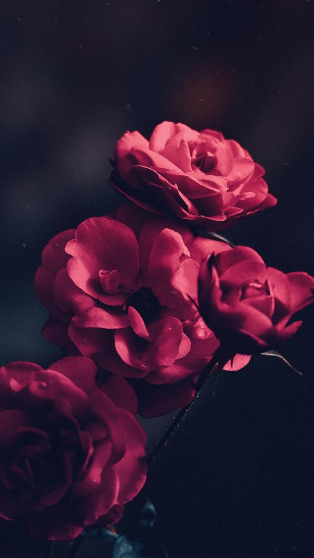 Foto con filtro di rosa con petali rossi, sfondi bellissimi di fiori colorati