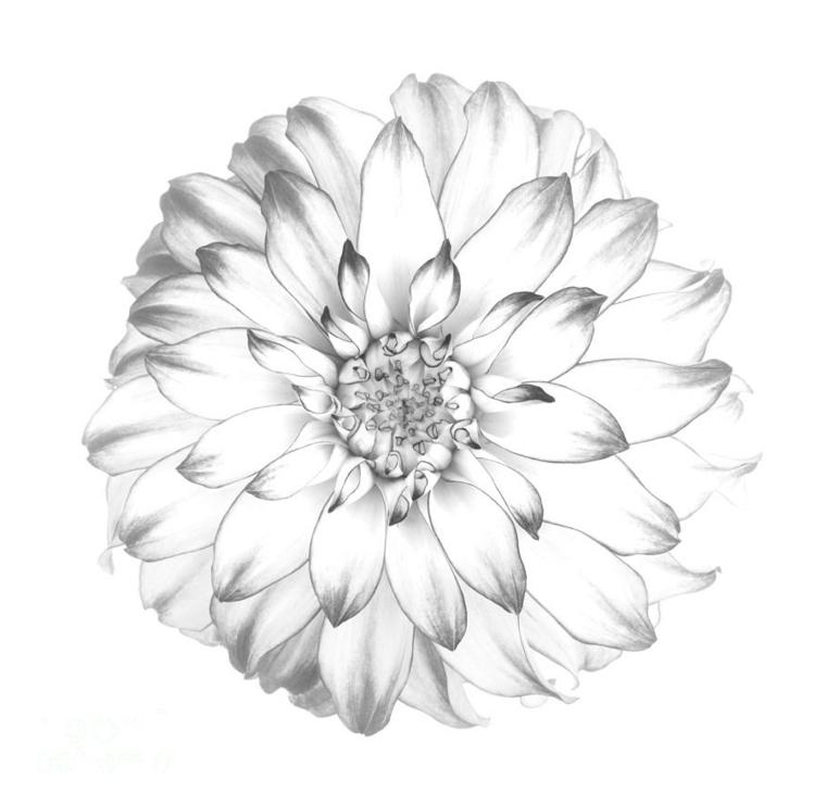 Disegni di fiori da colorare, disegno di un fiore con petali sfumati con la matita