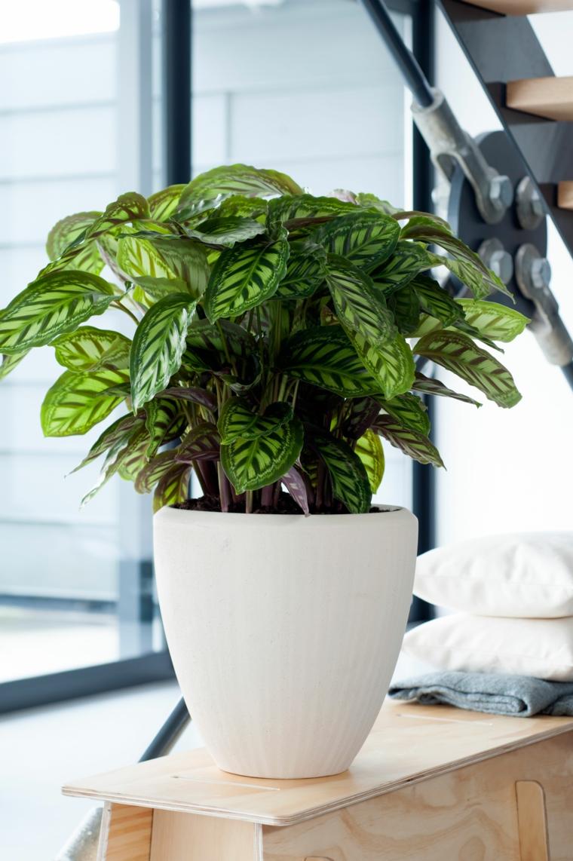 cathalea piante verdi da appartamento facili da tenere vaso bianco tavolo legno