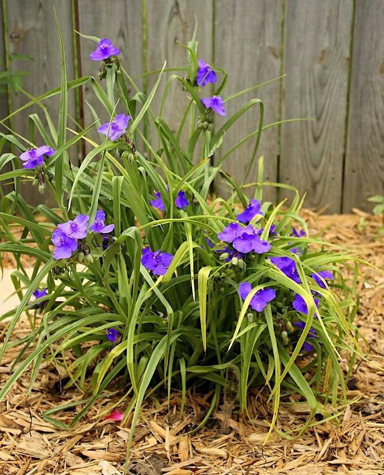 tradescantia fiore da giardino idee per abbellire il giardino di casa