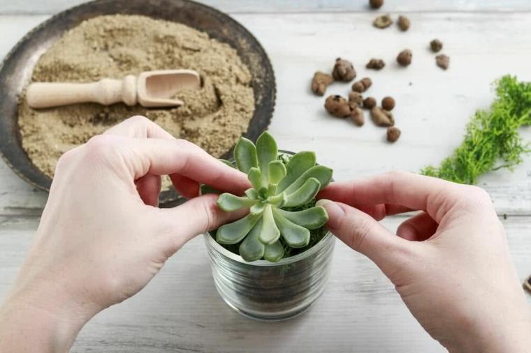 come trapiantare una echeveria pianta grassa dalle foglie verdi