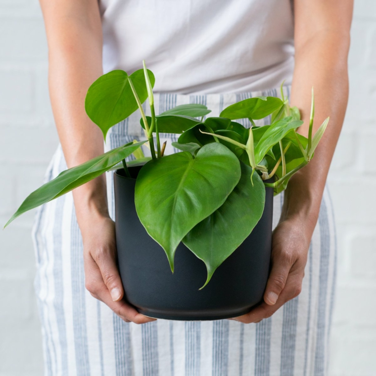 philodendron foglia verde forma di cuore piante da appartamento resistenti