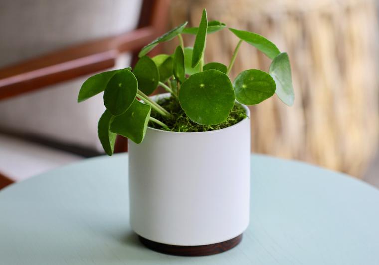 pianta cinese dei soldi piante da appartamento resistenti