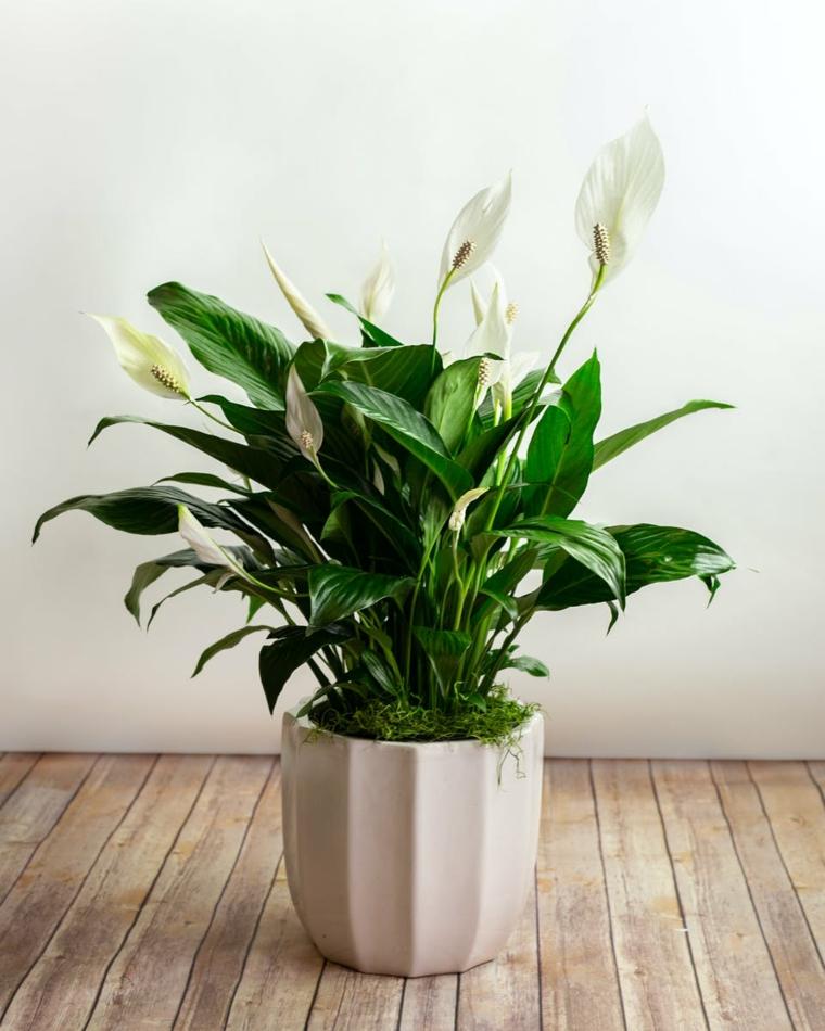 pianta con foglia verde e fioritura bianca piante appartamento poca luce