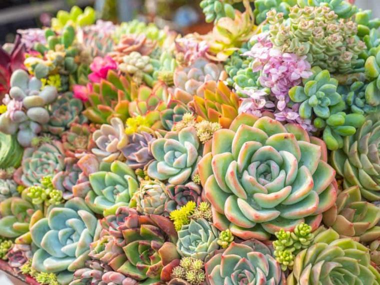 piante grasse da esterno come curarle composizione di rosette di vario colore
