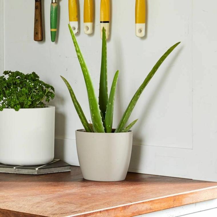 piante ornamentali da interno vaso bianco con aloe vera vegetazione in cucina