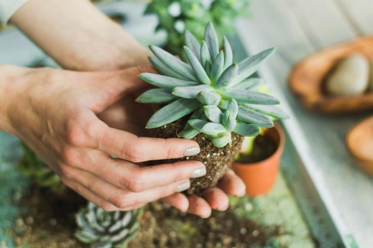 piante succulente come trapiantare pianta grassa in un vaso di terracotta