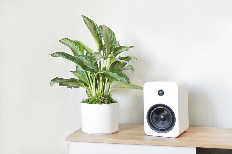 silver evergreen piante sempreverdi da interno decorare il soggiorno