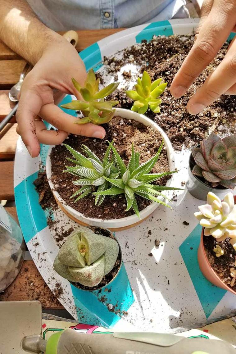 trapianto di succulente in vasi di terracotta piante grasse da interno poca luce