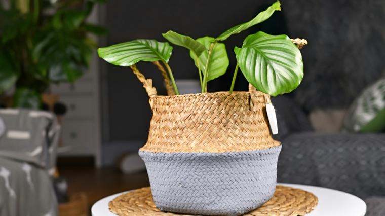vaso con calathea piante da appartamento poca luce tavolino rotondo da soggiorno