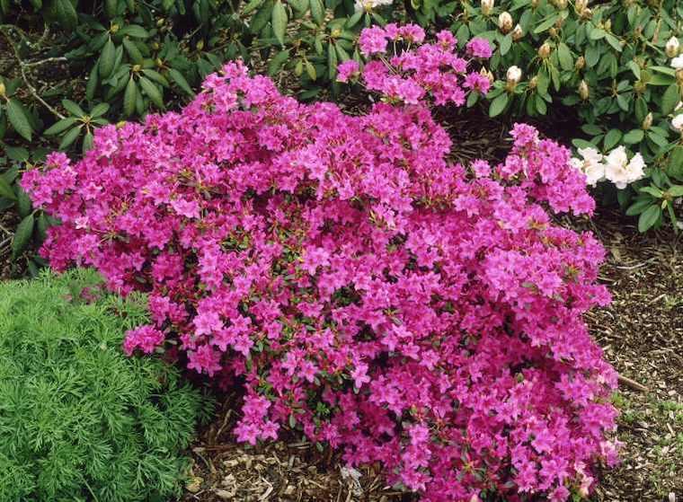 azalea di colore rosa piante da giardino perenni