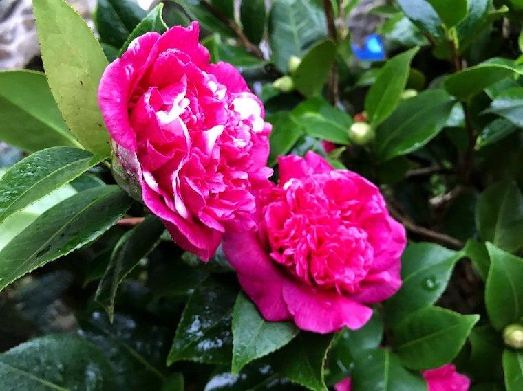 camelia di colore rosa piante da giardino che durano tutto l anno