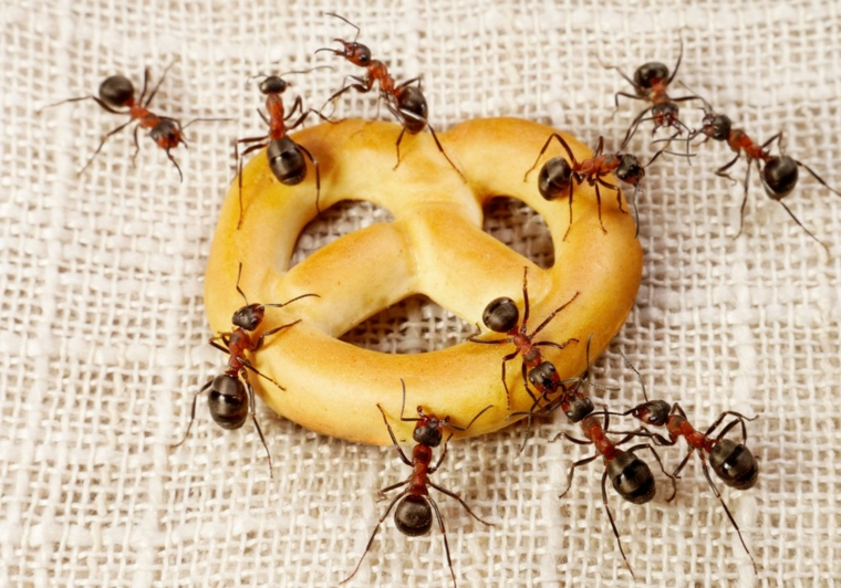 come trovare nido formiche in casa grissino ricoperto di formiche