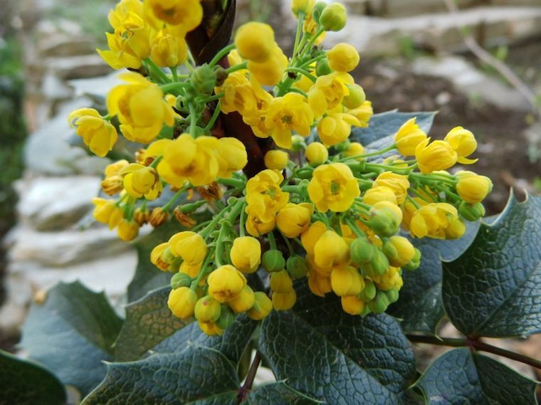 mahonia aquifolium piante da giardino sempreverdi