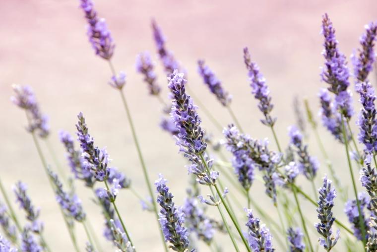 piante che allontanano le mosche campo con fiori di lavanda